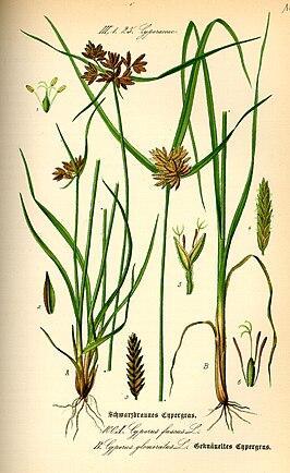 Bruin cypergras (Cyperus fuscus)