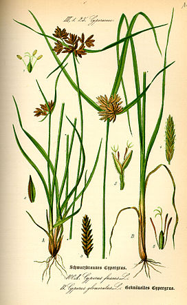 Illustration Cyperus fuscus0.jpg