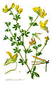 Illustration Lotus corniculatus1.jpg