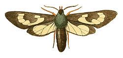 Illustrations of Exotic Entomology Glaucopis Fenestrata.jpg
