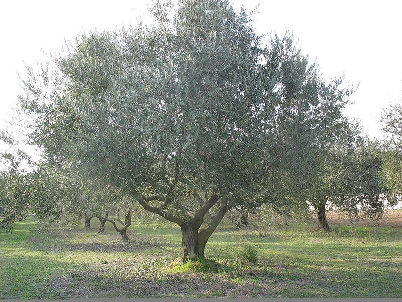 File image d 39 un olivier de l 39 oliveraie des 4d jpg wikimedia commons - Comment entretenir un olivier arbre ...