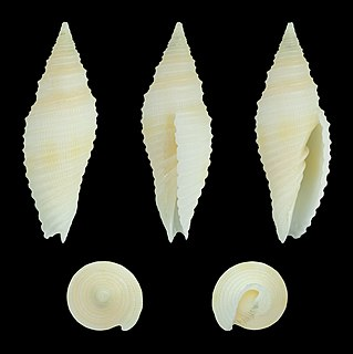<i>Imbricaria baisei</i> species of mollusc