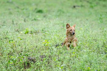 Indian Dhole after Meal.jpg