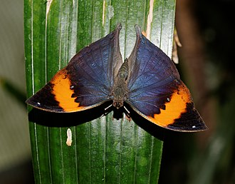Kallima - Kallima paralekta, male showing the brilliant colors of the upper surfaces of the wings.