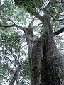 Indigenous Ironwood Tree - Olea macrocarpa - Newlands Forest - Cape Town 2.jpg