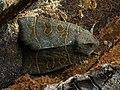 Ipimorpha subtusa - The Olive - Острокрылая совка тополёвая (26258484587).jpg