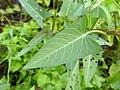 Ipomoea aquatica, Water Morning Glory, Swamp cabbage, aquatic morning glory. .jpg