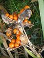 Iris foetidissima fruits 01.JPG