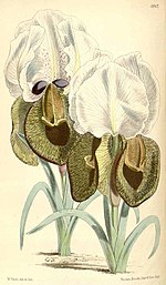 Iris iberica by WH Fitch for Curtis's Botanical Magazine.jpg