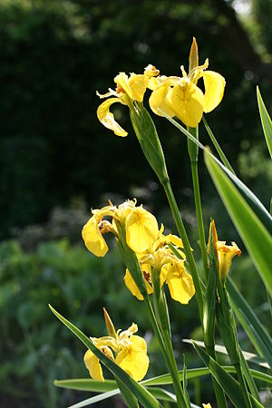 Iris pseudacorus (1)