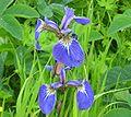 Iris setosa01.jpg