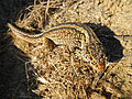 Island Night Lizard, San Nicolas Island, California..JPG