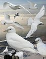 Ivory Gull From The Crossley ID Guide Eastern Birds.jpg