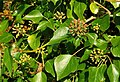 Ivy flowers near Drumbeg - geograph.org.uk - 1047904.jpg