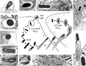 English: Stages in the intracellular life-cycl...