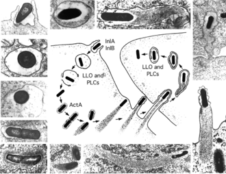 Listeria monocytogenes - Stages in the intracellular lifecycle of L. monocytogenes. (Center) Cartoon depicting entry, escape from a vacuole, actin nucleation, actin-based motility, and cell-to-cell spread. (Outside) Representative electron micrographs from which the cartoon was derived. LLO, PLCs, and ActA are all described in the text. The cartoon and micrographs were adapted from Tilney and Portnoy (1989).