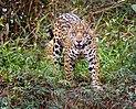 Jaguar in the Pantanal.jpg
