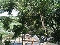 Jambu tree - panoramio.jpg