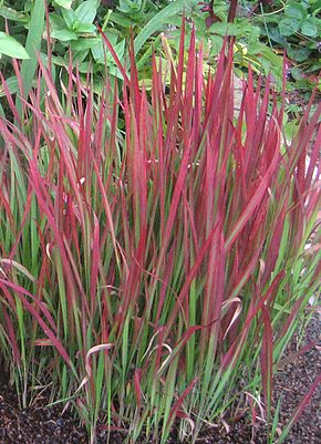 Imperata cylindrica 'Red Baron,' a Boston
