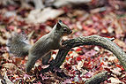Japanese Squirrel.jpg