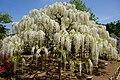 Japanese wisteria, Ashikaga Flower Park 7.jpg