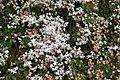Jasmine Flowers 1 2017-04-26.jpg