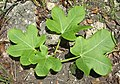 Jatropha macrophylla on coral (6867312569).jpg