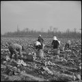 Jerome Relocation Center, Dermott, Arkansas. Cutting cabbages which have been left for winter harvest. - NARA - 539504.tif