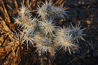 Joshua Tree NP - Cholla Cactus 2.jpg