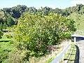 Juglans ailantifolia Carrière (AM AK289845-4).jpg