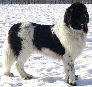 "Landseer dog - White and black Newfoundland dog, sometimes also called ""landseer"", not to be confused with a Landseer ECT."