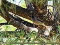 Jungle Myna (Acridotheres fuscus) (32719543218).jpg