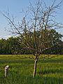 Kühkopf-Knoblochsaue Rote Sternrenette Tree.jpg