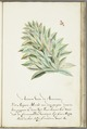 KITLV - 37A68 - Markée, Cornelis - Pineapple crown with caterpillar producing cochenille, larva and butterfly. - Brush drawing - Circa 1763.tif