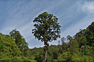 Metrosideros robusta - A Northern rātā towers above the forest at Kaitoke Regional Park, Wellington