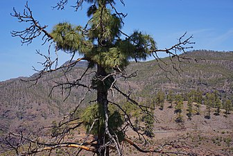 Kanarische Kiefer - Gran Canaria - Pinus canariensis - börste.jpg