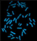 Karyotype of chimpanzee (Pan troglodytes).png