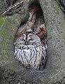 Kattuggla Tawny Owl (31751963122).jpg
