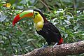 Keel-billed Toucan - Ramphastos sulfuratus, Caves Branch Jungle Lodge, Belmopan, Belize.jpg