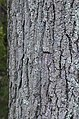 Kentucky Coffee Tree Gymnocladus dioicus Bark Vertical.jpg