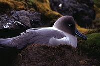 Kerguelen - Phoebetria palpebrata