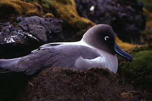Light-mantled albatross - Light-mantled albatross sitting on nest