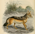 Keulemans black backed jackal.png
