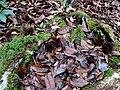 Kinabalu Park, Ranau, Sabah, Malaysia - panoramio (9).jpg