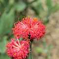 Kleinia abyssinica-IMG 6315.jpg