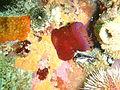 Knobbly anemone at Lorry Bay PB012044.JPG