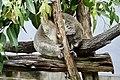 Koala (31269139883).jpg