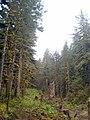 Kodiak-rain-forest.jpg