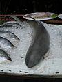 Koh Phangan-Haad Rin-Dead Shark 2009.jpg