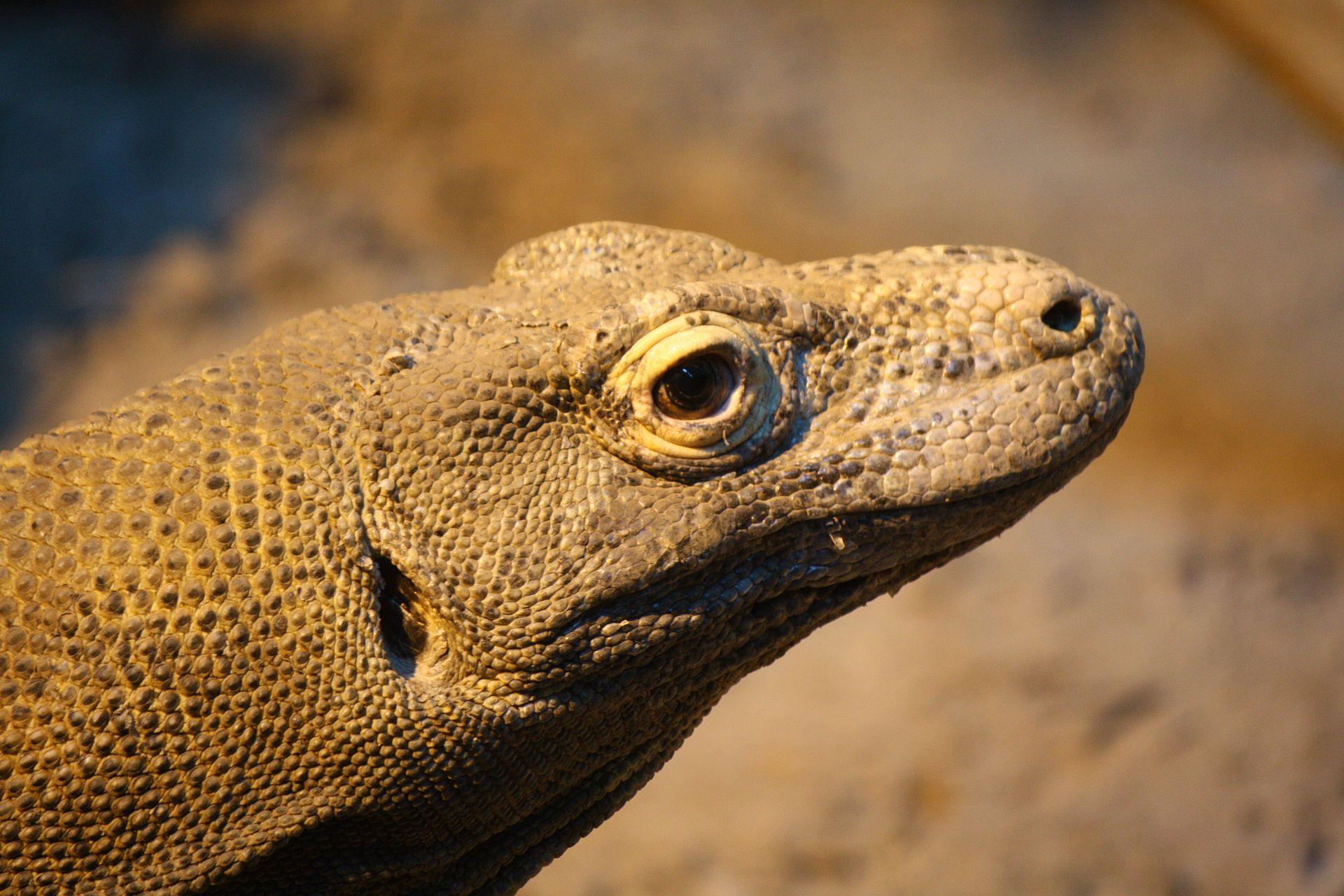 Komodo Dragon Wikipedia: Varanus Komodoensis